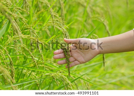 farmer touching ear of rice or ear of paddy by hand in a rice farm