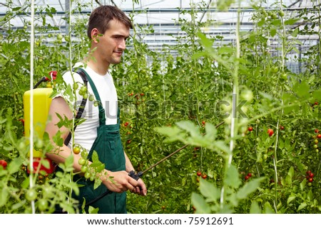 Farmer using organic crop protection agent in greenhouse with tomato plants - stock photo