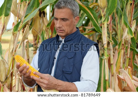 farmer watching a corncob in a cornfield - stock photo