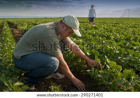 Farmer watching the rows of soybean - stock photo