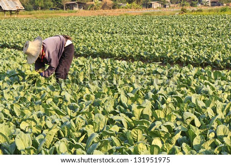 Farmer watering kale field - stock photo