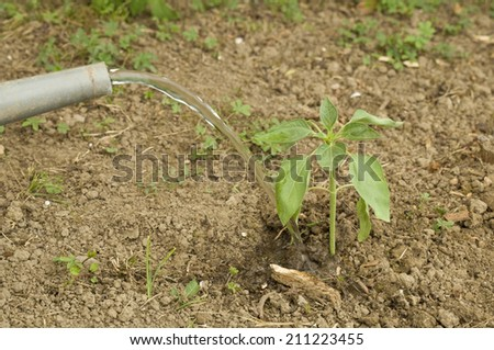 Farmer watering newly planted sunflower