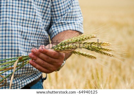 Farmer with wheat in hands. Field of wheat on background. - stock photo
