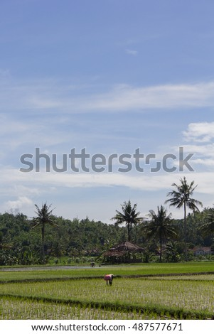 farmer work at daylight with coconut trees at the back
