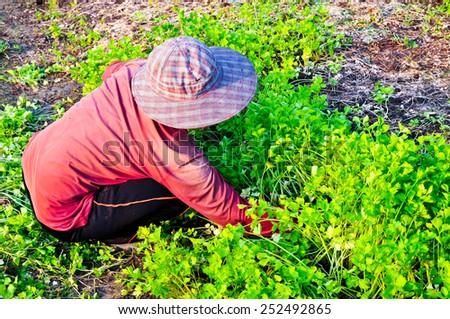 Farmer working at celery garden - stock photo