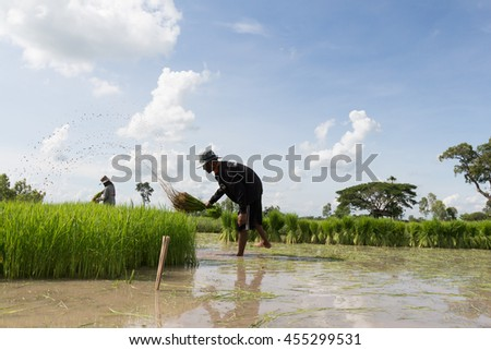 Farmer working at green rice field.,Farmer in paddy fields at yasothon province, thailand July 20 2016 - stock photo