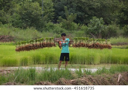 Farmer working at green rice field.,Farmer in paddy fields at yasothon thailand July 06 2016 - stock photo