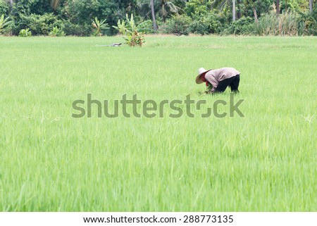Farmer working at the green rice field
