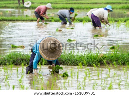 farmer working plant rice in farm of Thailand southeast asia - stock photo