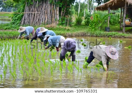 farmer working planting rice in farm of Thailand southeast asia - stock photo