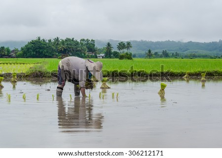 Farmer working planting rice in the paddy field  with cloudy raining day - stock photo