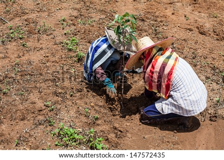 Farmers are Planted longan - stock photo