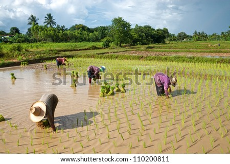Farmers are planting rice in the farm. - stock photo