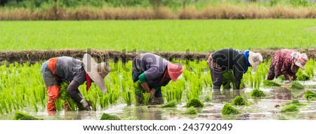 Farmers are planting rice in the farm - stock photo