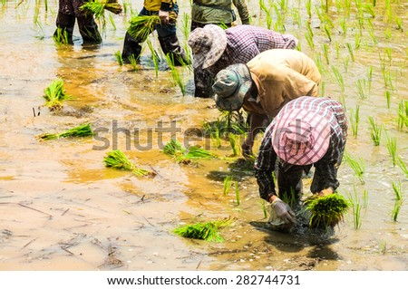 Farmers are planting rice in the farm, Thailand. - stock photo