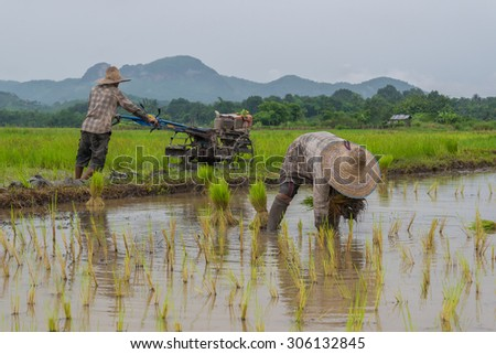 Farmers are planting rice in the paddy field  in cloudy raining day - stock photo