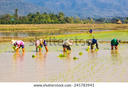 Farmers are planting together in the rice field with mountain background