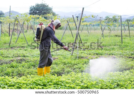 Farmers are spraying the spinach with liquid fertelizer sprayed onto the seedlings to spread green spread.
