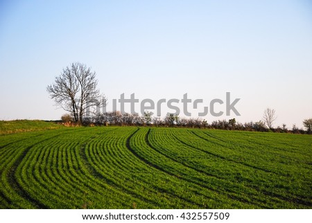 Farmers green growing rows of corn in a  field - stock photo