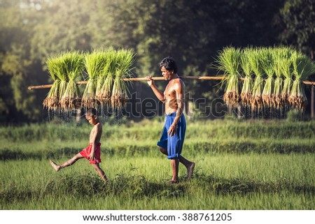 Farmers grow rice in the rainy season. They were soaked with water and mud to be prepared for planting.  - stock photo