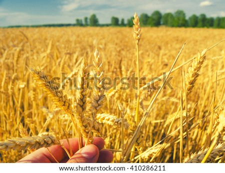 Farmers hand holding and examining stems of ripe wheat seeds on sunny summer day. - stock photo