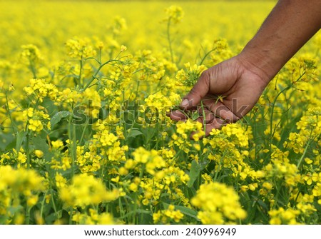Farmers hand holds flowers in a mustard field - stock photo