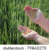 Farmers hands pouring wheat with field in background - stock photo