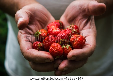 Farmers hands with freshly harvested strawberry. Shallow depth of field. - stock photo