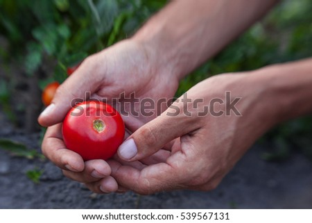 Farmers hands with freshly harvested tomatoes.