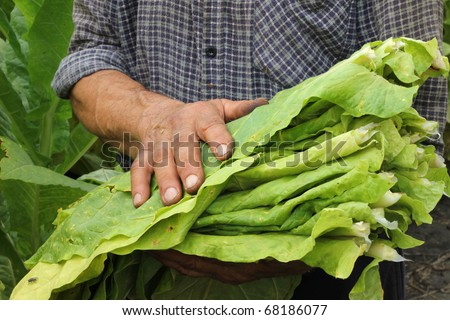 Farmers harvested tobacco in the field - stock photo