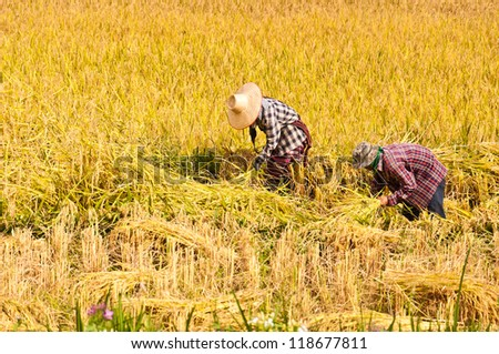 farmers harvesting rice in rice field in Thailand - stock photo