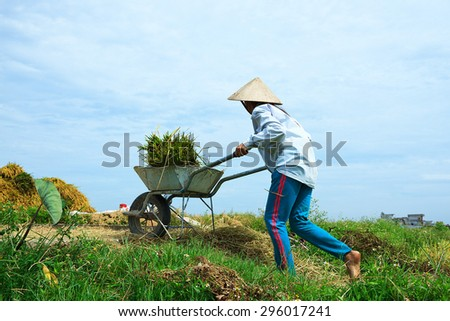 Farmers harvesting rice in their fields. This is the main shipping method farmers.