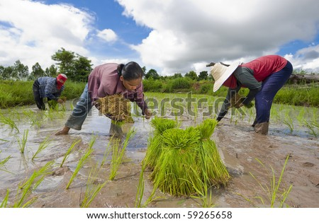 farmers in the isaan, the north east of thailand, growing rice - stock photo