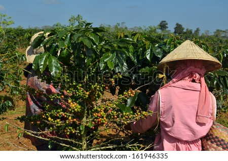 Farmers picking coffee berries from Arabica plants in the coffee plantation during daytime against blue sky - stock photo