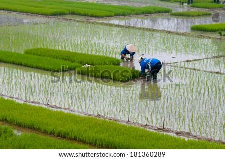 Farmers transplant rice in a field in Vietnam  - stock photo