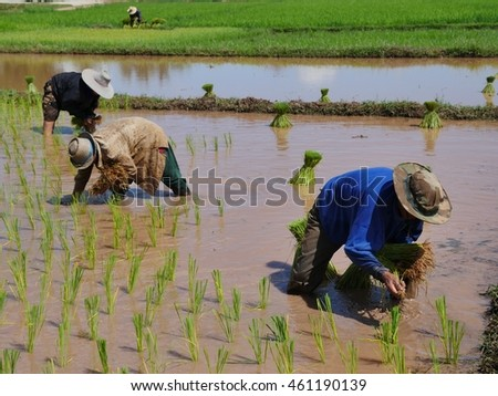 Farmers transplant rice in the field