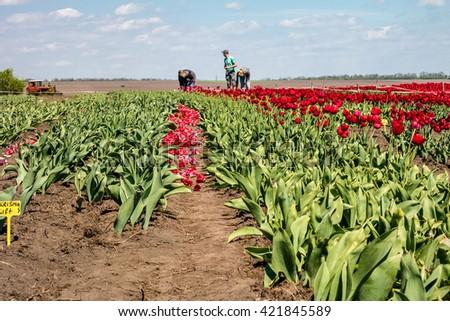 Farmers work on tulip field. Tulip field with farmers. Tulip bulb field with red flowers on soil after harvest. - stock photo