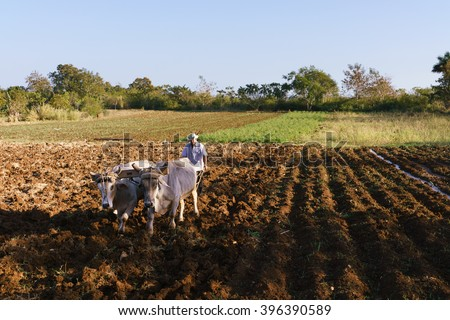 Farming and cultivations in Latin America. High angle view of middle aged hispanic farmer manually ploughing the soil with ox at the beginning of the growing season.  - stock photo