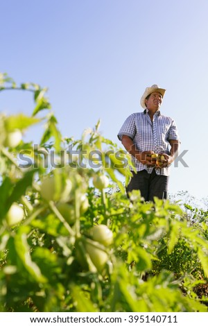 Farming and cultivations in Latin America. Middle aged hispanic farmer standing proud in tomato field, holding some vegetables in his hands. Copy space in the sky. - stock photo