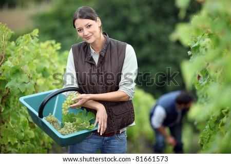 Farming couple collecting grapes - stock photo