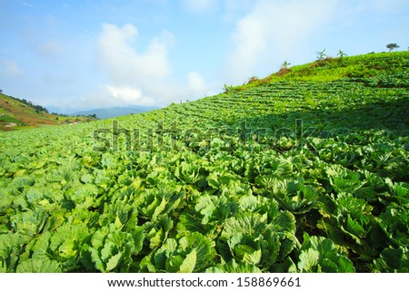 Farmland cultivated cabbage.