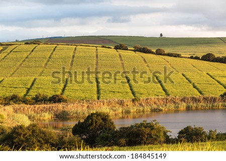 Farmlands Sugarcane Crops Dam Farmlands in the peaceful countryside with lush sugarcane crops and dam for water  irrigation. - stock photo