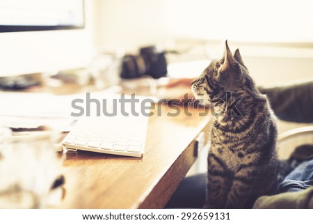 Fascinated little kitten staring at the monitor of a desktop computer as it sits on its owners lap at a desk - stock photo