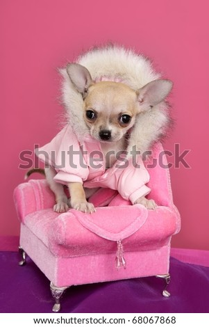 fashion chihuahua dog style sofa armchair pink background - stock photo