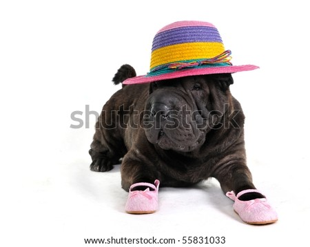 Fashionable Sharp-Pei is lying in Hat and Sandals - stock photo