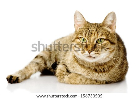 fat cat. isolated on white background - stock photo