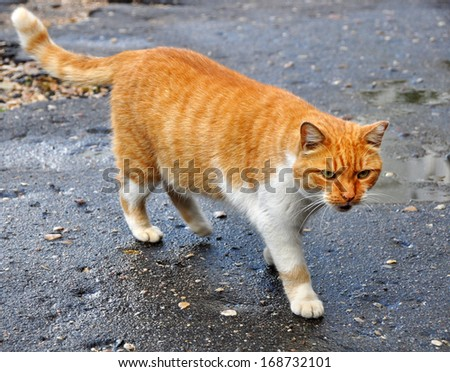 Fat cat walking on the paved road. - stock photo