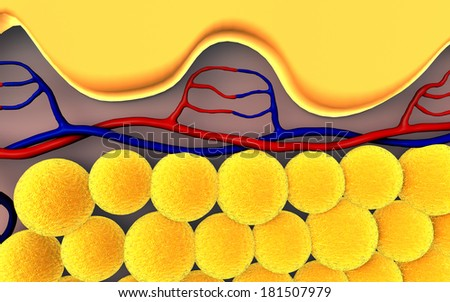 fat cells, subcutaneous fat, illustration of human leather anatomy  - stock photo
