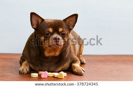 Fat Chihuahua dog bored of face, sitting on the desk. It's went eating milk snack for pet. - stock photo