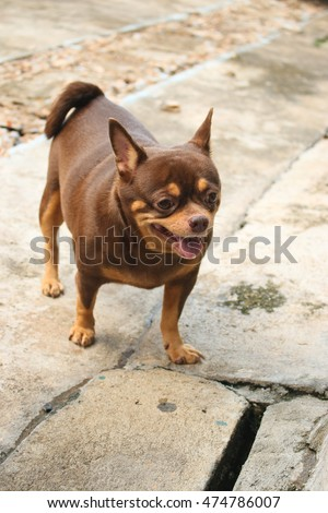 Fantastic Indoor Chubby Adorable Dog - stock-photo-fat-chihuahua-dog-of-smile-474786007  Trends_861291  .jpg